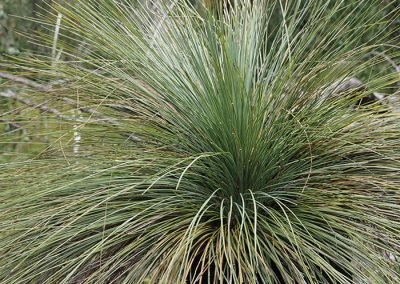 Grass Tree in the Grampians